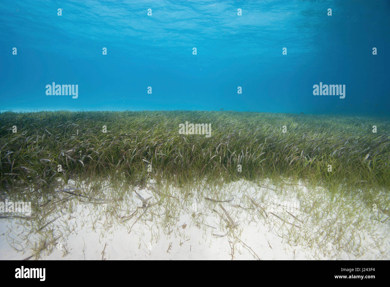 Underwater view of seagrass bed Stock Photo
