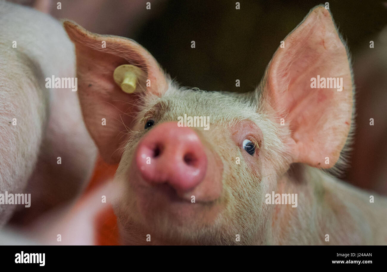 Pigs on a farm in Liessow, Germany, 21 April 2017. Farmers in the state of Mecklenburg-Western Pomerania are appealing - Stock Image
