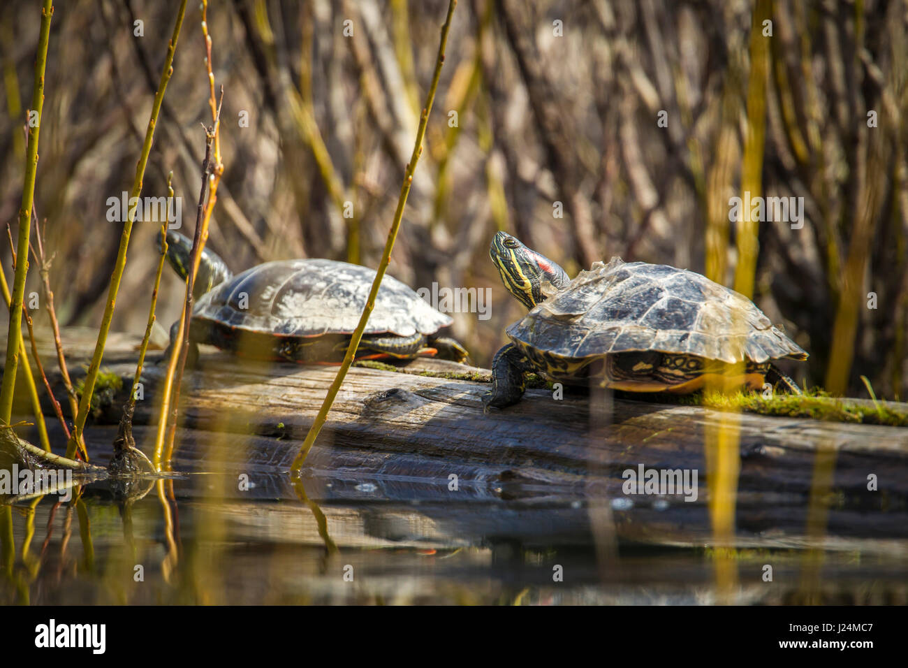 Two western painted turtles are basking on a log in Fernan Lake, Idaho. - Stock Image