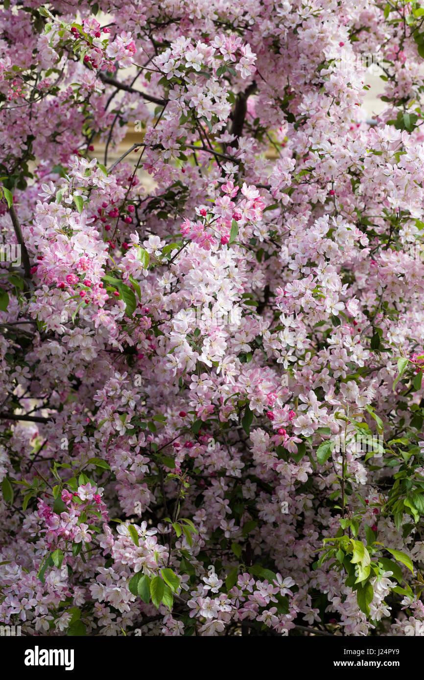 Prunus. Japanese cherry tree blossom - Stock Image