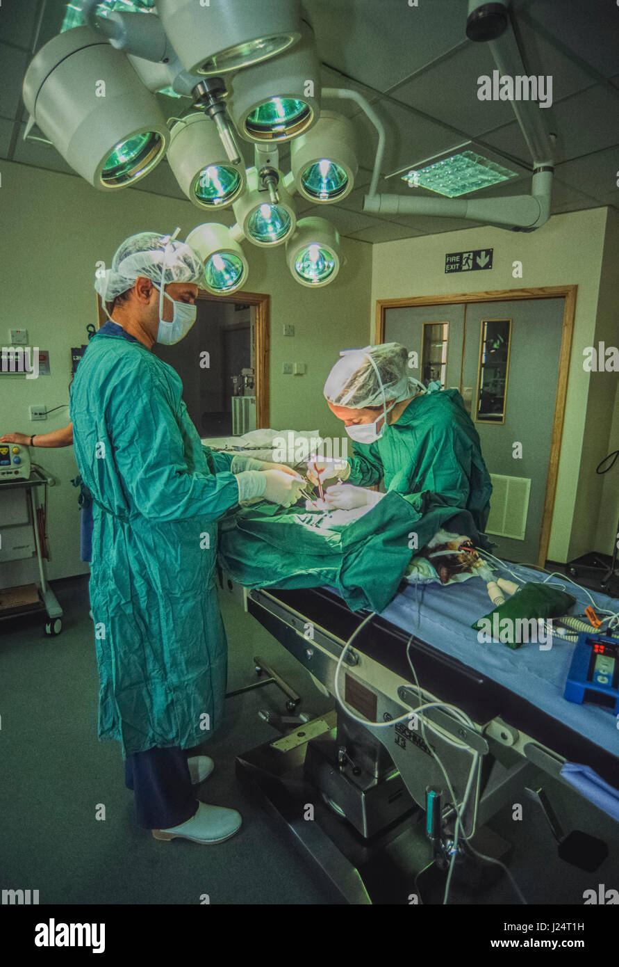 Veterinary surgeons perform an operation on a cat at the Blue Cross Animal Hospital, Victoria, London, United Kingdom - Stock Image