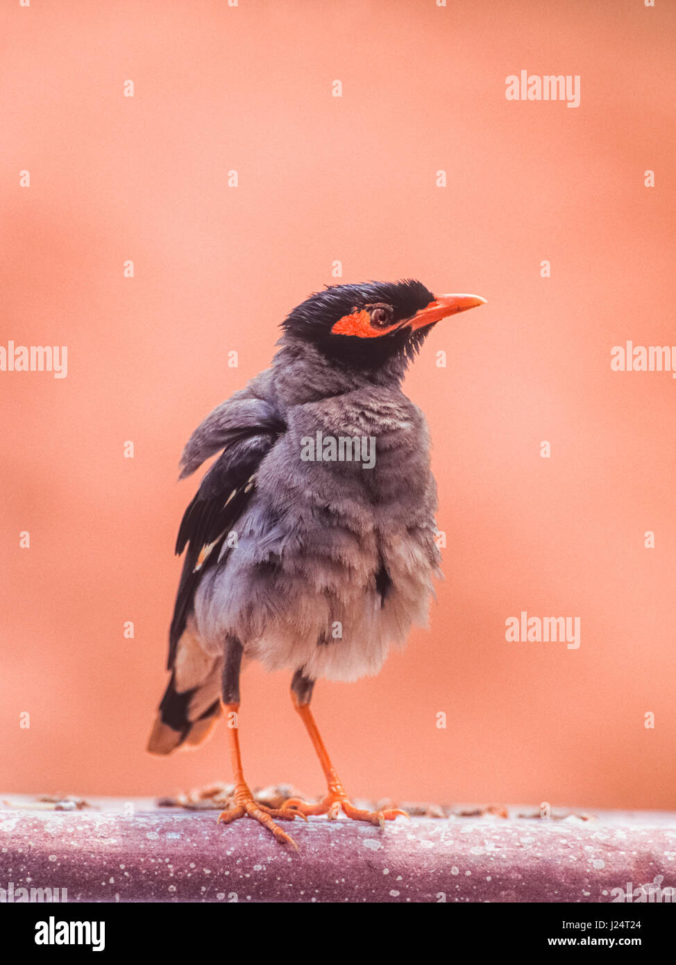 Bank Myna, (Acridotheres ginginianus), shaking out feathers after preening, Keoladeo Ghana National Park, Bharatpur, - Stock Image
