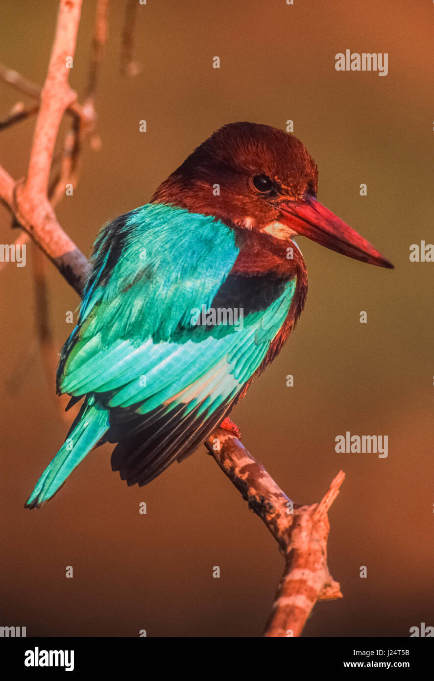 White-throated kingfisher, (Halcyon smyrnensis), also known as White-breasted kingfisher, perched on branch, Keoladeo - Stock Image