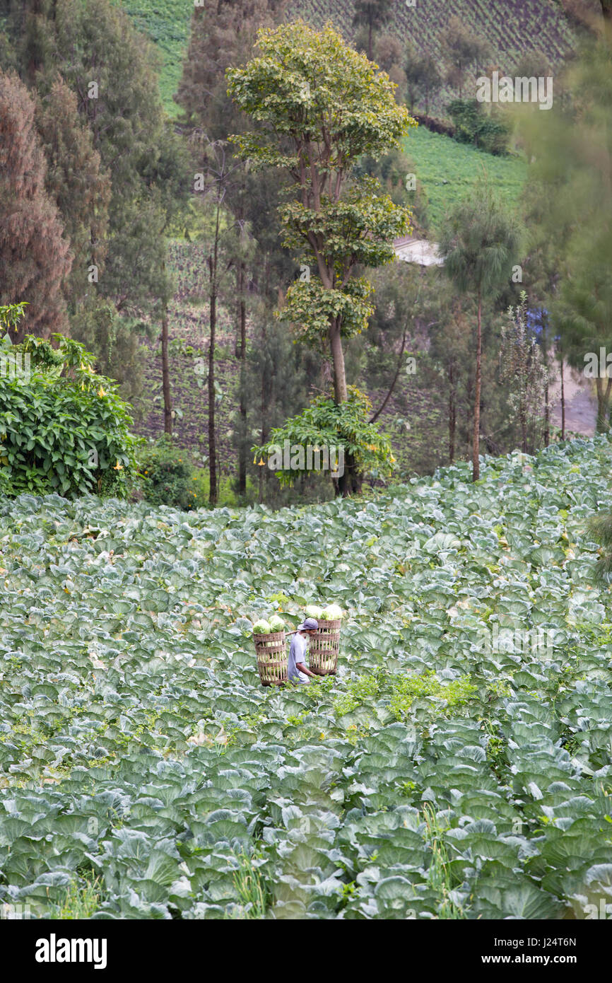A farmer carrying harvested Cabbage in a Cabbage plantation. - Stock Image