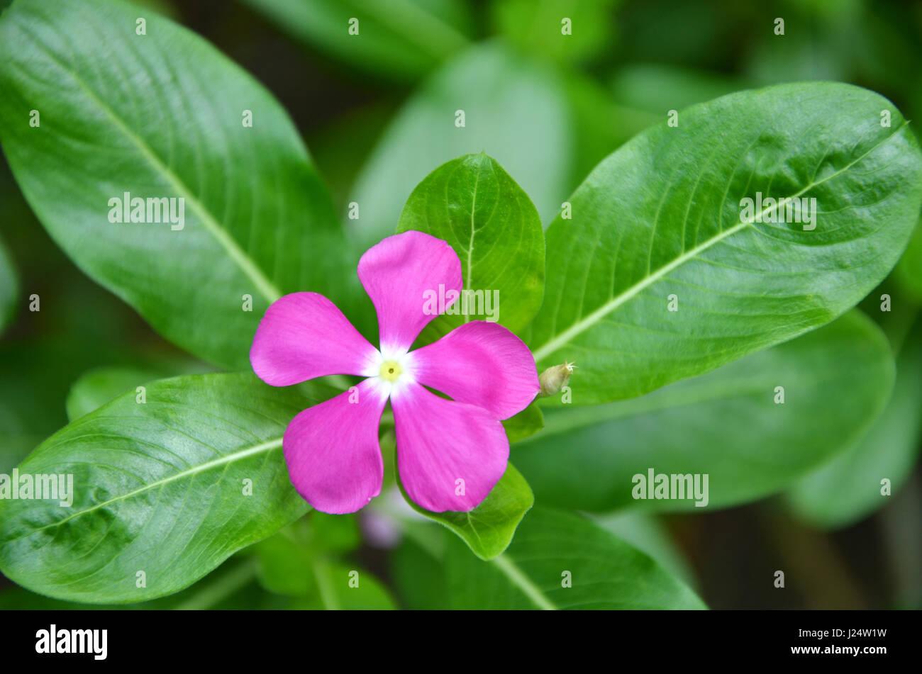Beautiful pink vinca flowers (madagascar periwinkle) Stock Photo