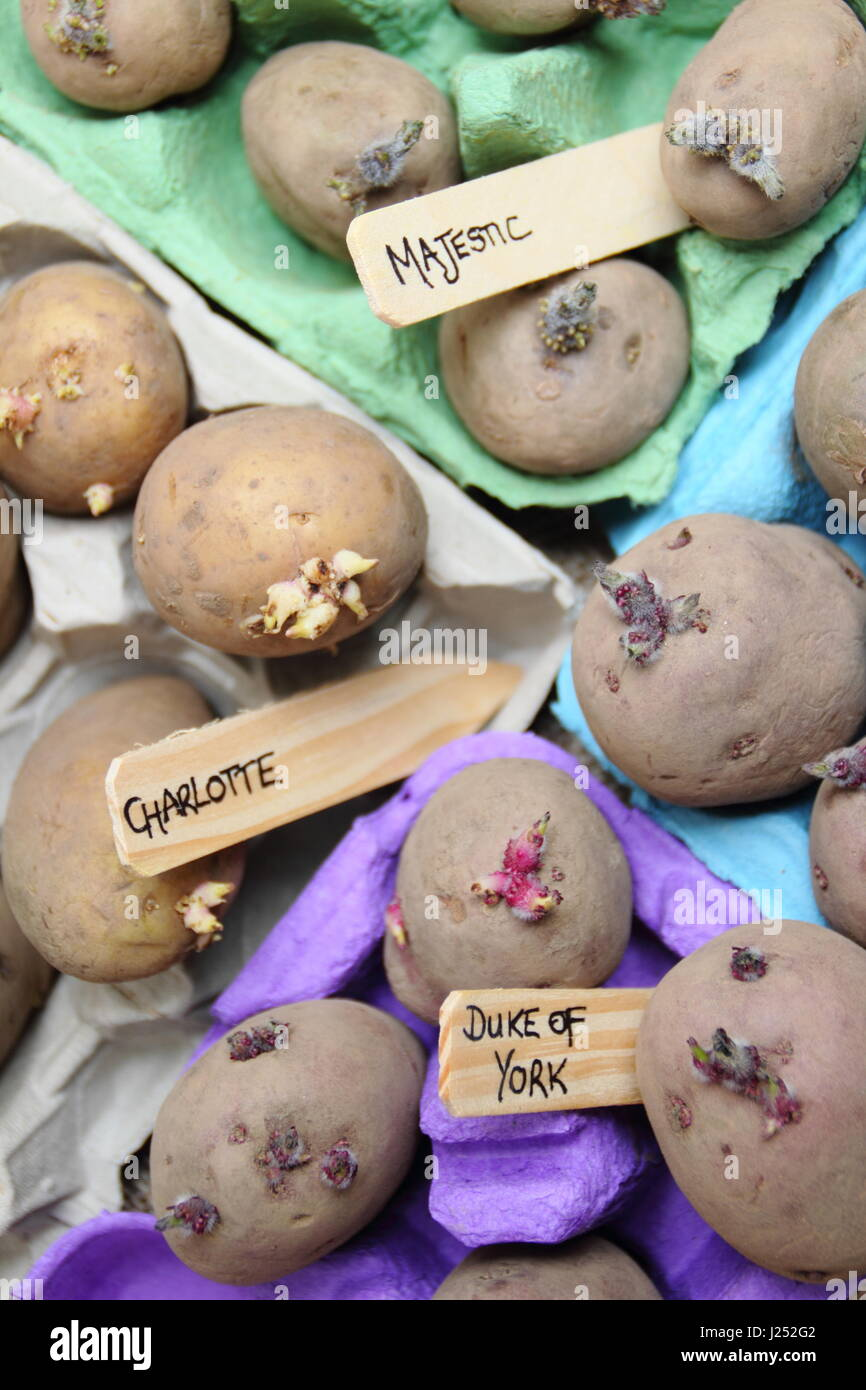 Labelled seed potatoes chitting in egg box containers indoors to encourage strong sprouts before planting out in - Stock Image