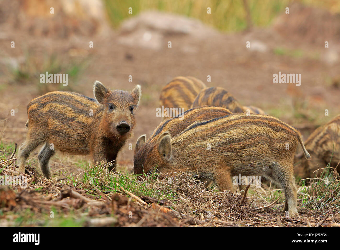 Wild Boar piglets in the Forest of Dean - Stock Image