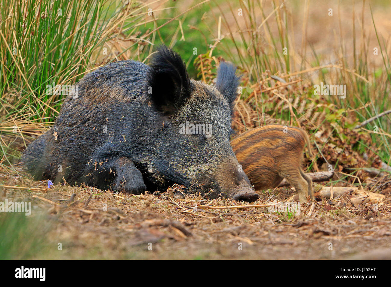 Wild Boar sow suckling piglet in the Forest of Dean - Stock Image