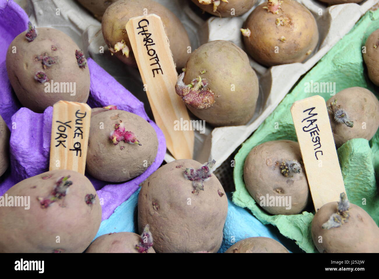 Labelling seed potatoes chitting in egg box containers indoors to encourage strong sprouts before planting out in - Stock Image