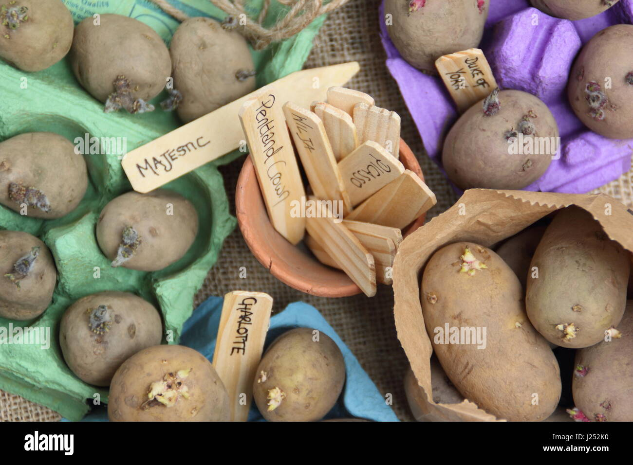 Labelleing seed potato varieties chitting in egg box  indoors to encourage strong sprouts before planting out in - Stock Image