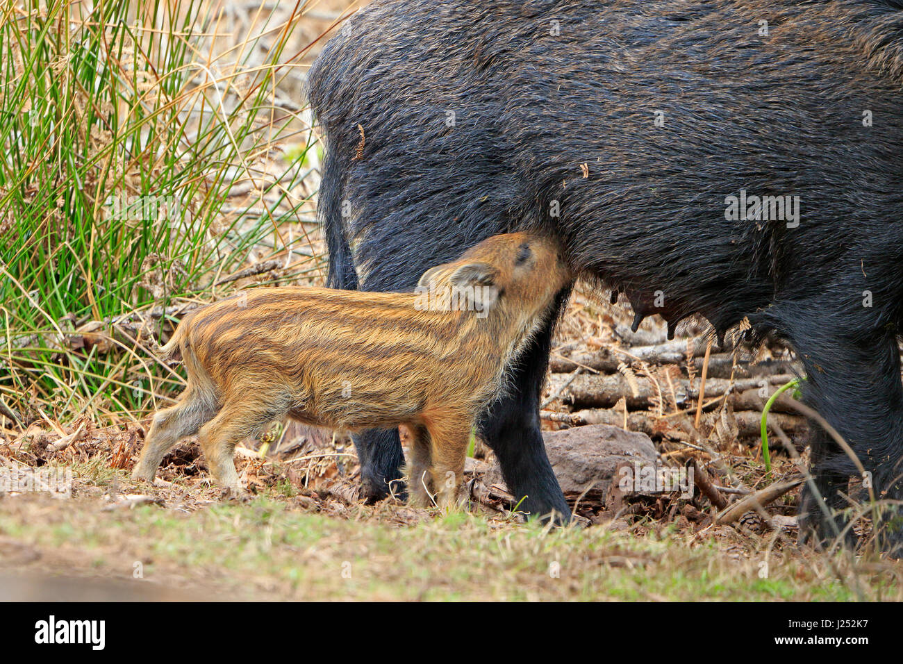 Wild Boar piglet suckling in the Forest of Dean - Stock Image
