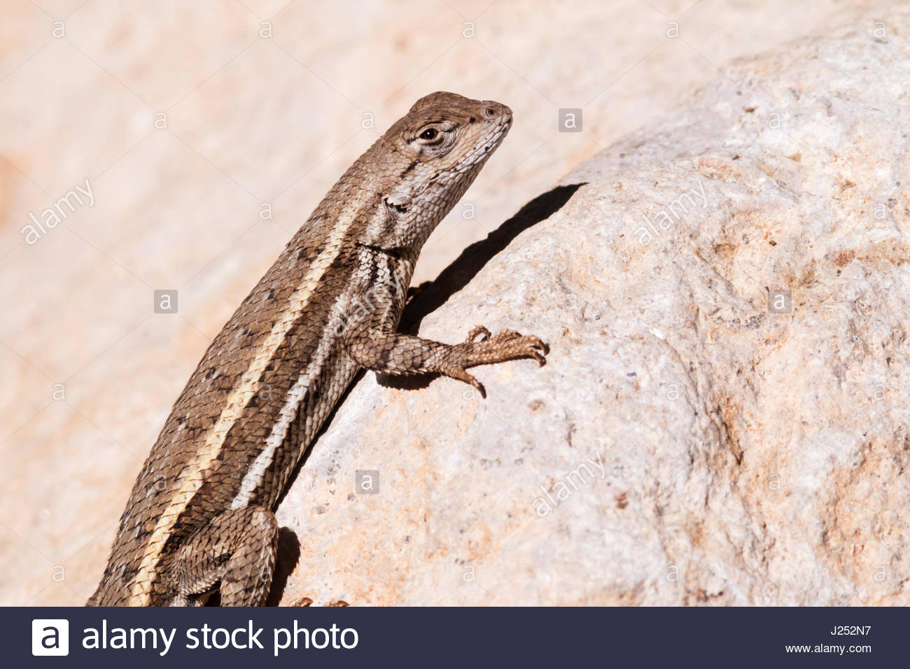 Striped Plateau Lizard, Sceloporus virgatus, on rock in southeastern Arizona Stock Photo