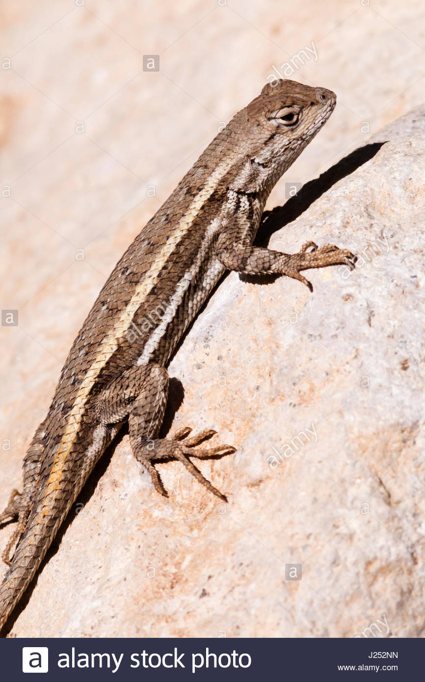 Striped Plateau Lizard, Sceloporus virgatus, on rock in southeastern Arizona Stock Photo