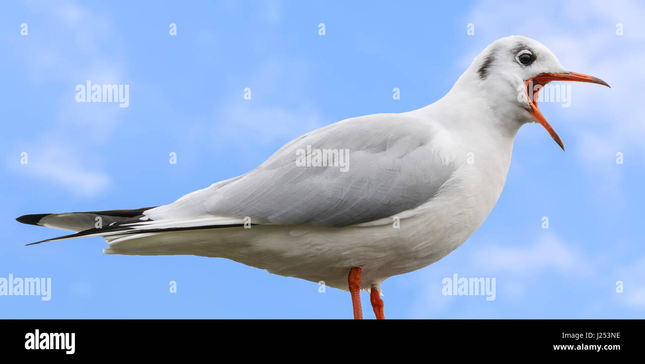 Black Headed Gull (Chroicocephalus ridibundus) in Winter plumage with its mouth wide open while calling. - Stock Image