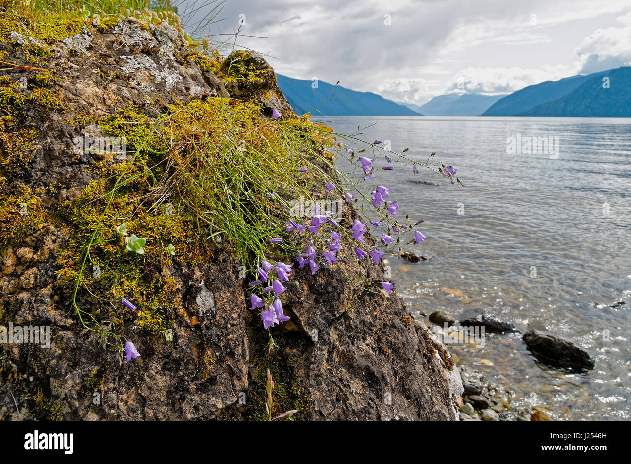 Flowers, water and rock. Field bell flowers on the background of Teletskoye Lake - Stock Image