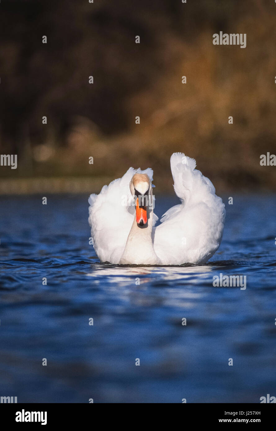 male Mute swan, (Cygnus olor), displaying plumage during courtship phase, Regents Park, London, United kingdom - Stock Image