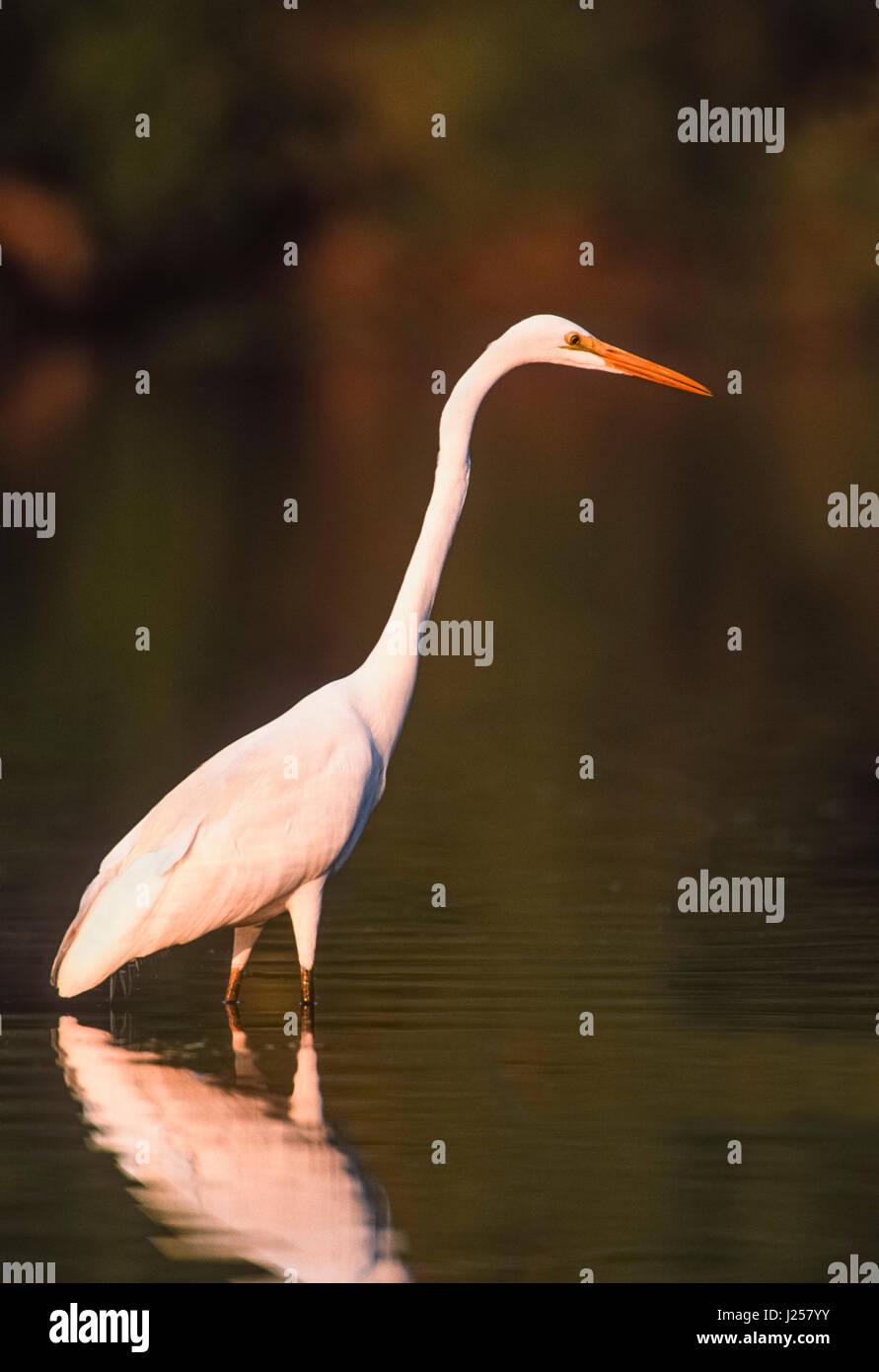Great Egret, (Ardea alba), fishing in wetlands, Keoladeo Ghan National Park, Bharatpur, Rajasthan, India - Stock Image