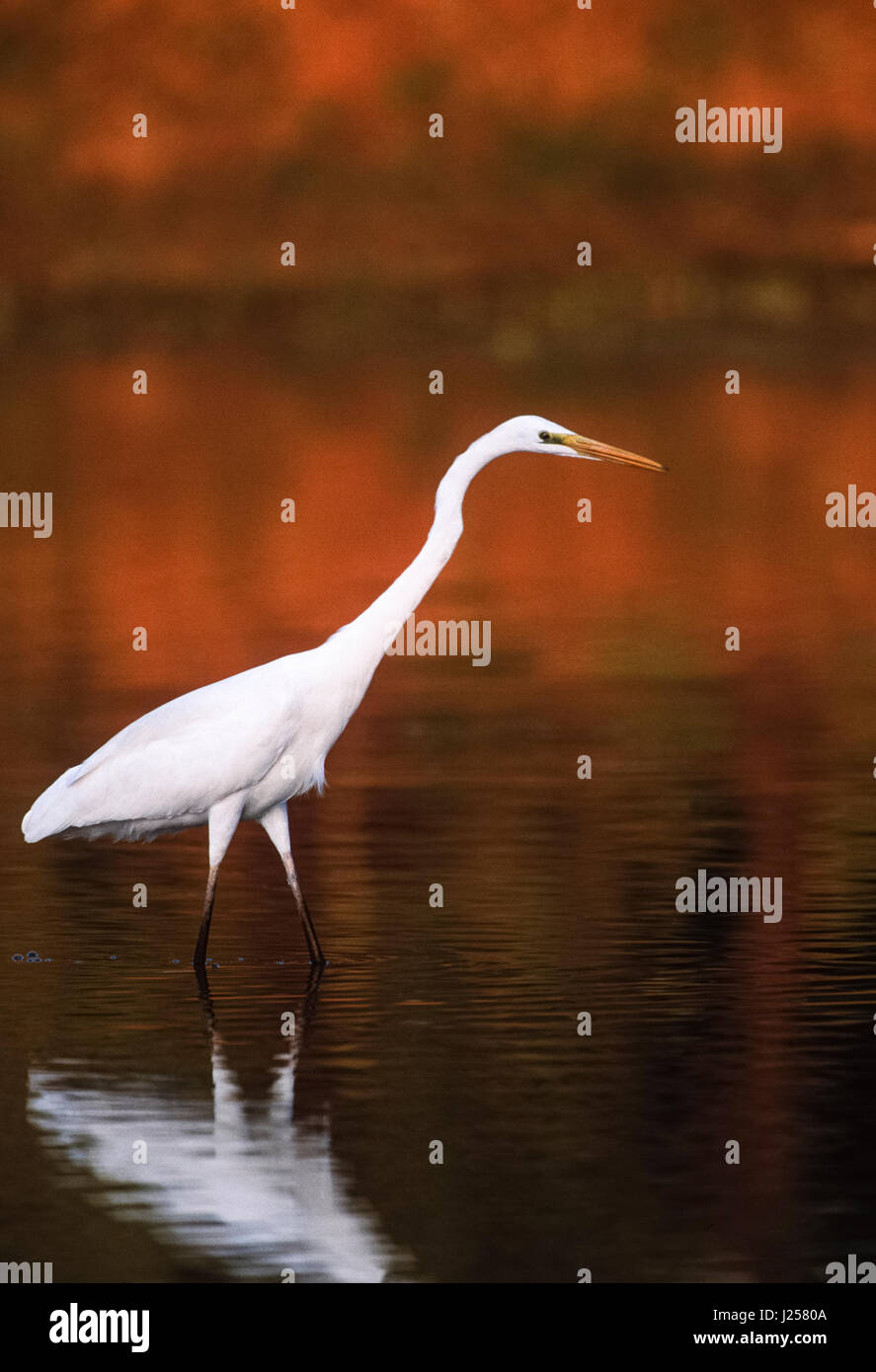 Great Egret, (Ardea alba), fishing in wetlands, Keoladeo Ghana National Park, Bharatpur, Rajasthan, India - Stock Image