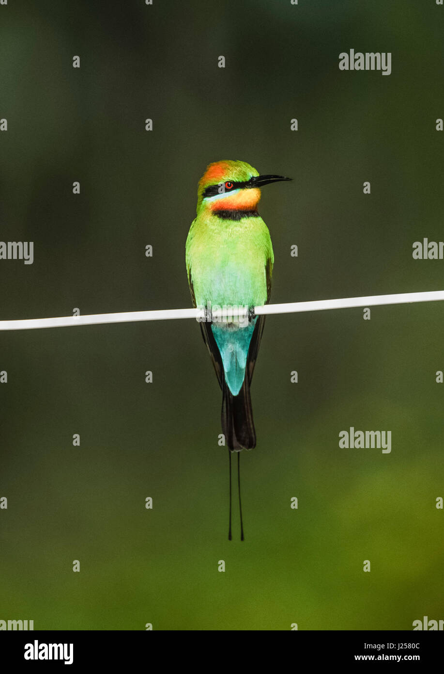 adult Rainbow bee-eater ,(Merops ornatus), perched on wire, Byron Bay, New South Wales, Australia - Stock Image