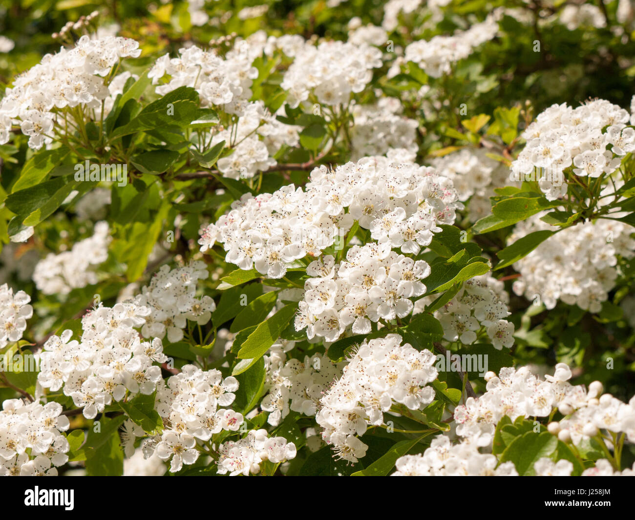 Sweet And Fragrant Shining White Flower Heads On A Tree In Spring
