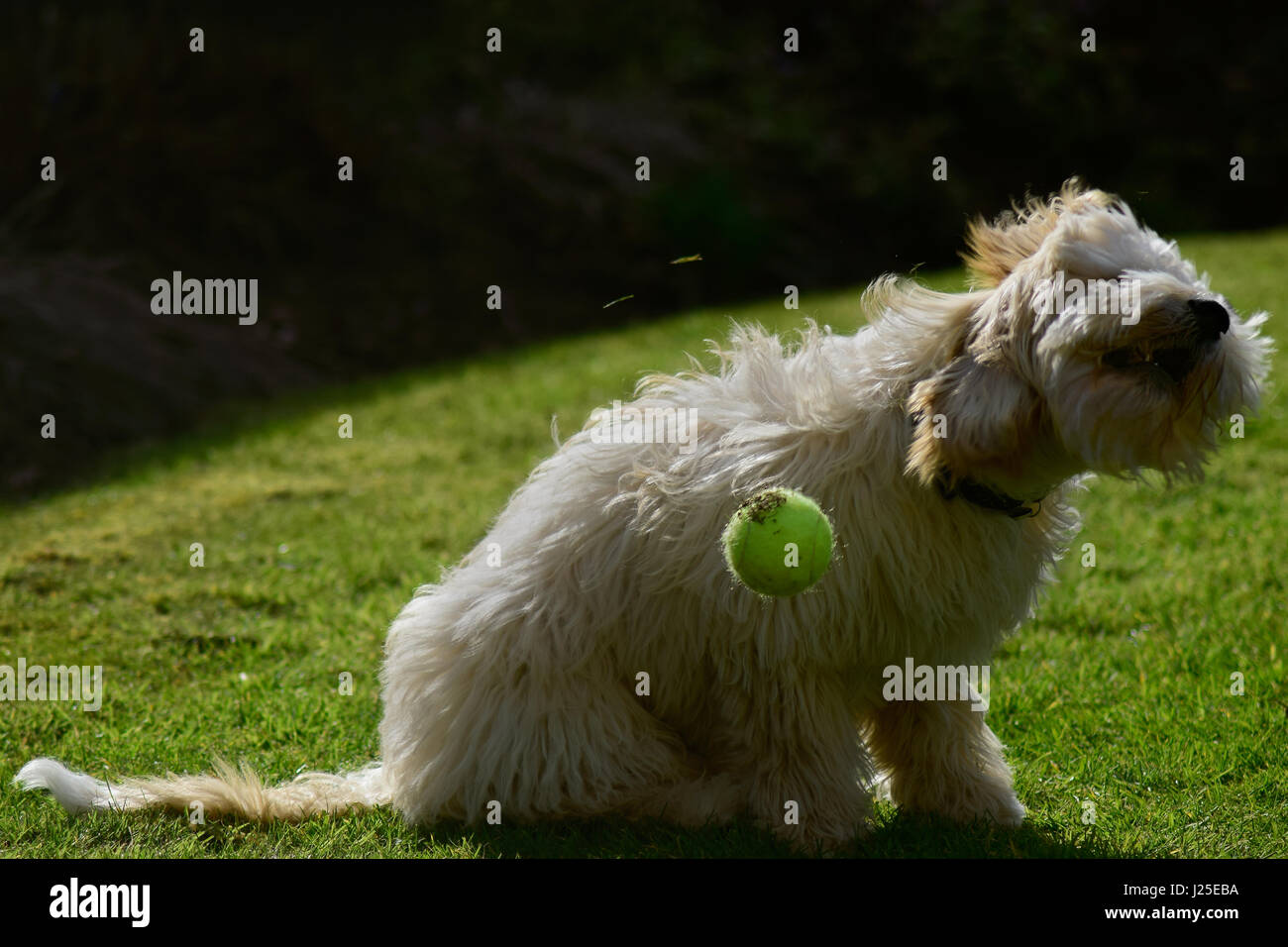 Cockerpoo shaking head in garden with tennis ball - Stock Image