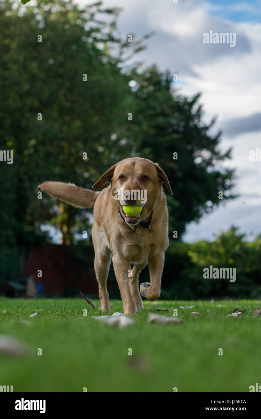Male Blonde Labrador playing in the garden with its tounge out - Stock Image