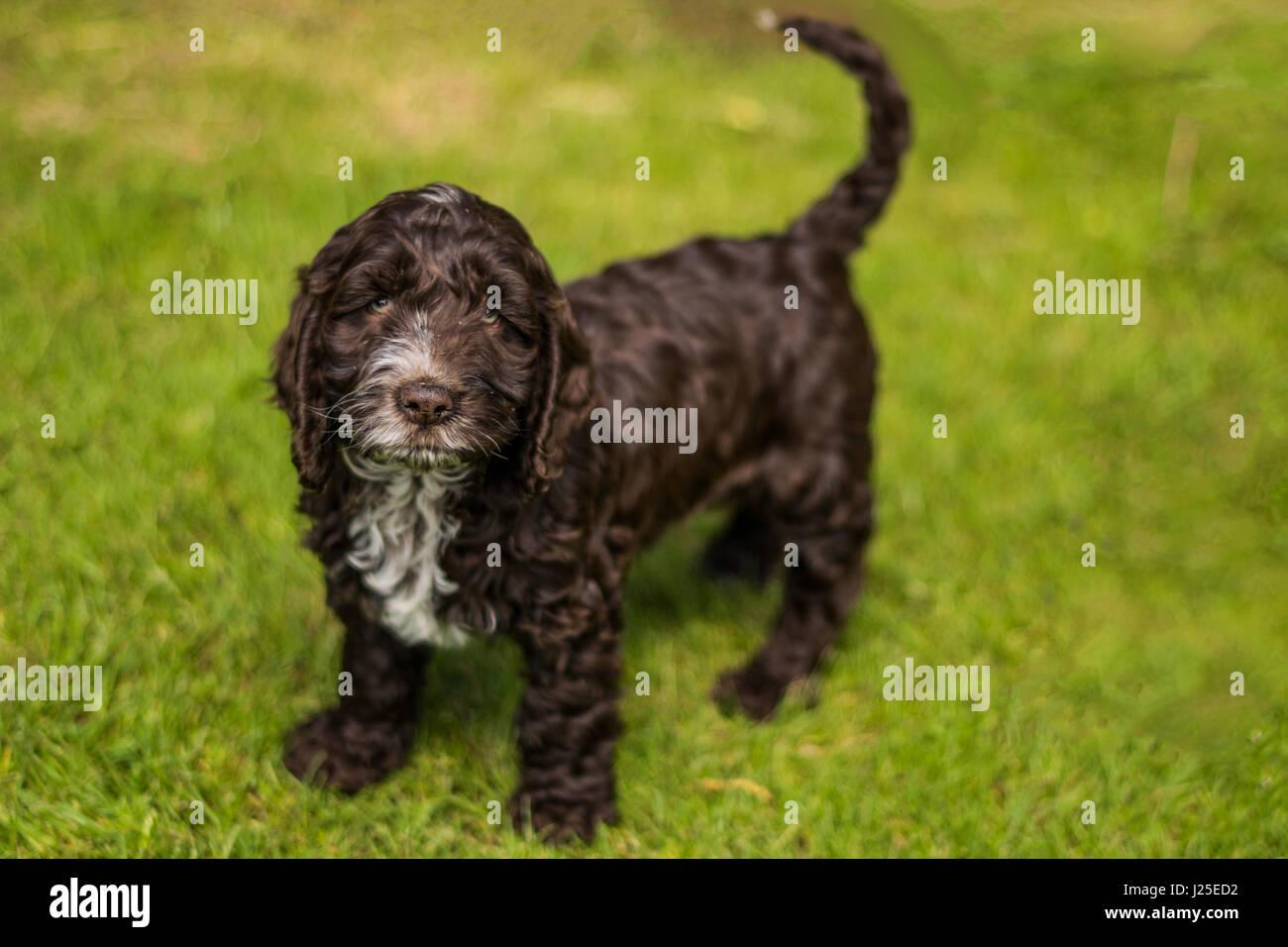 cockapoo dog puppy hound - Stock Image