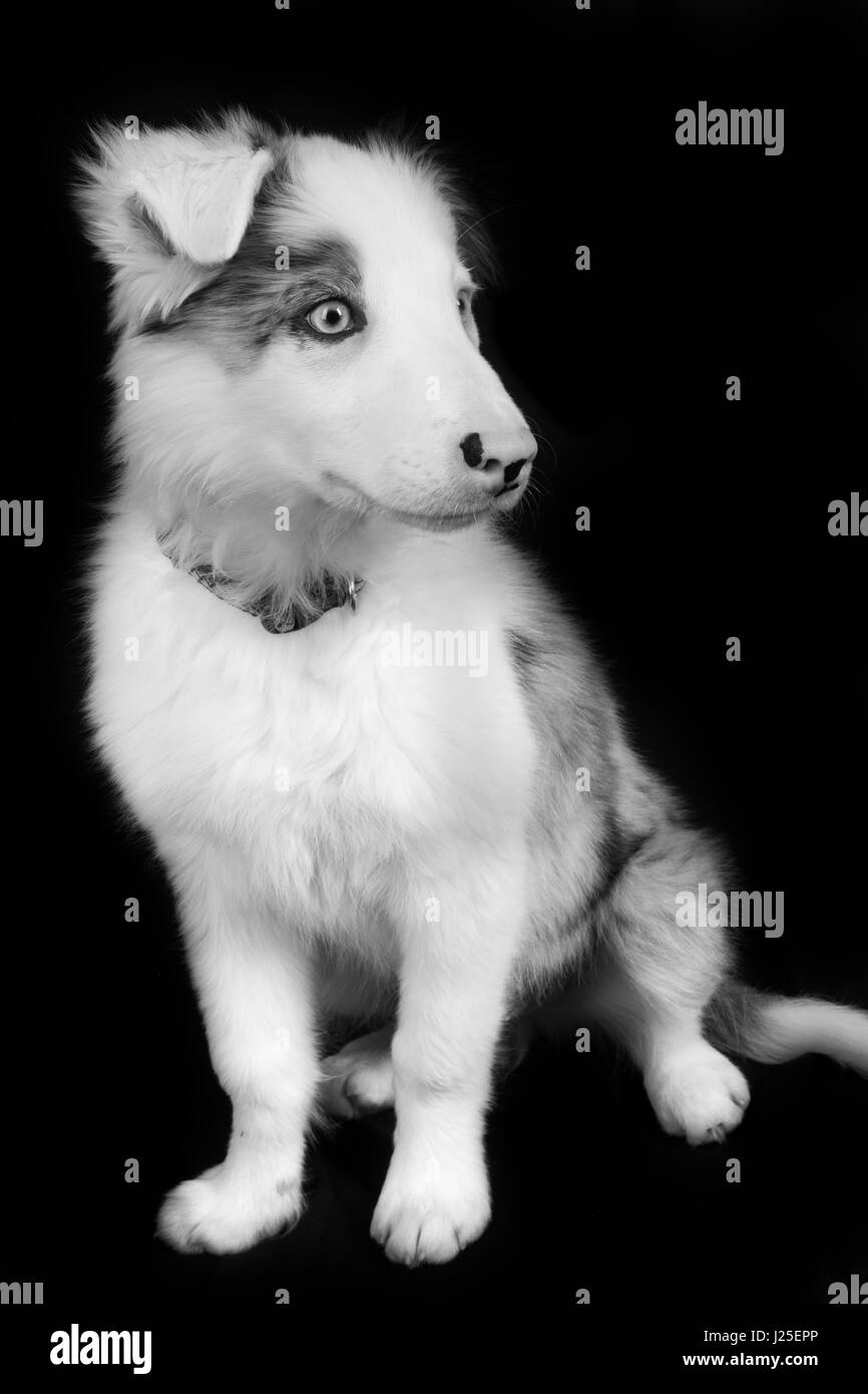 a beautiful blue merle dog having its photoshoot in the studio - Stock Image