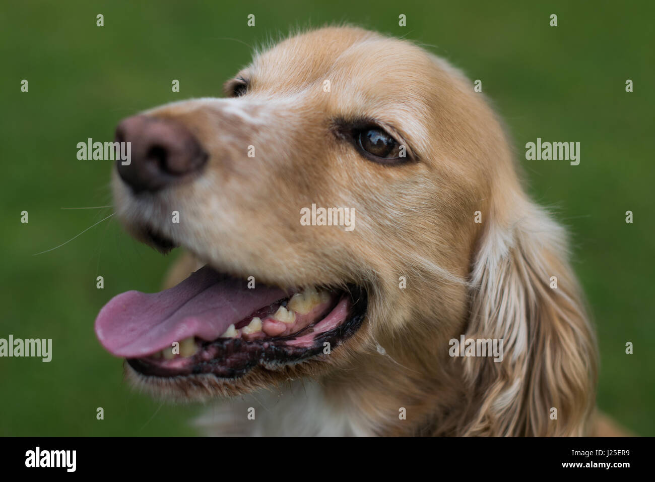 A beautiful springer spaniel playing in the sun - Stock Image
