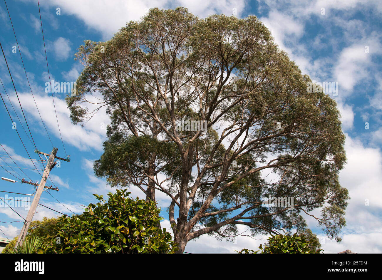 Mature native eucalypt towering above a suburban garden in Melbourne, Australia - Stock Image
