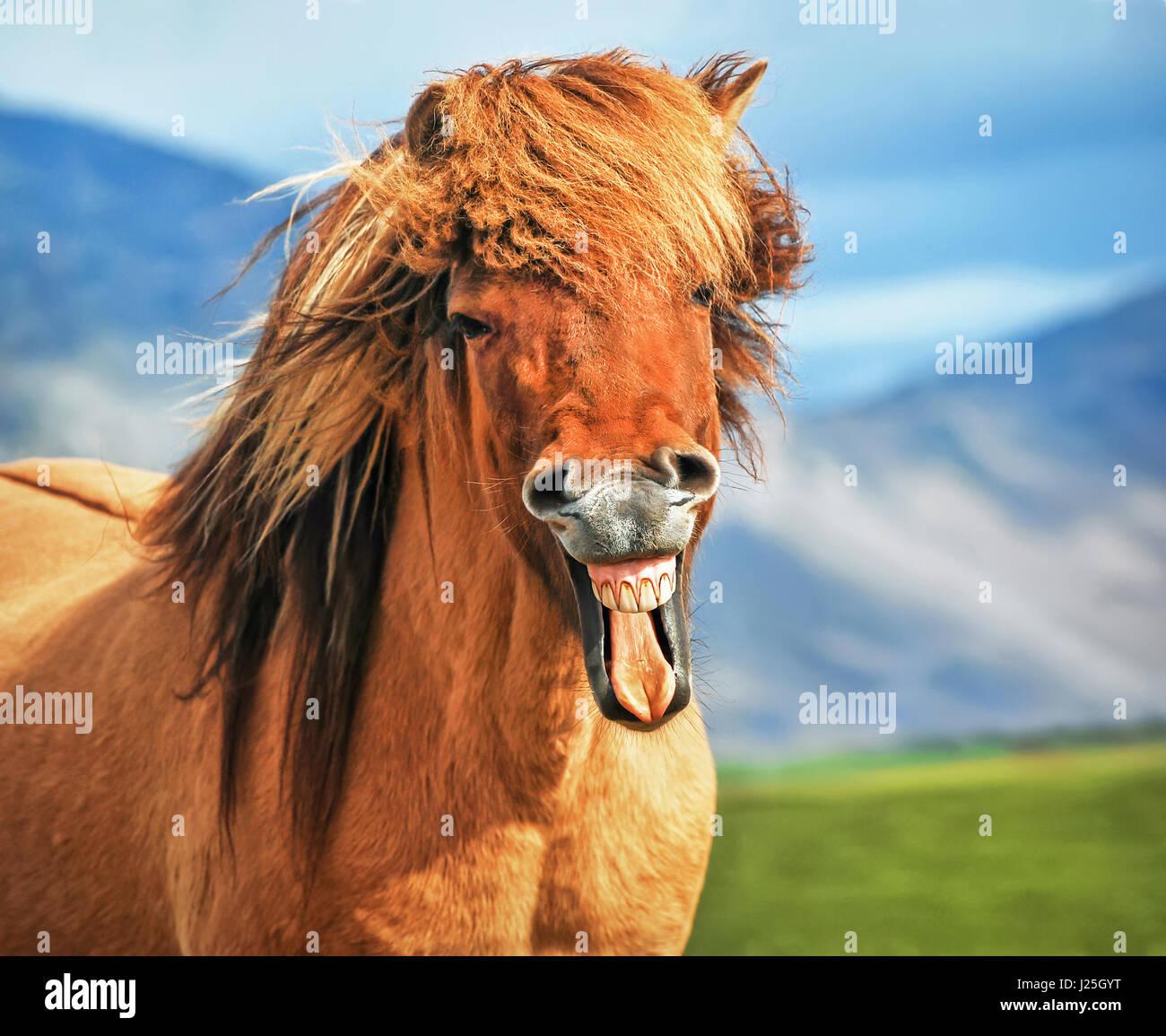 Icelandic horse smiling - Stock Image