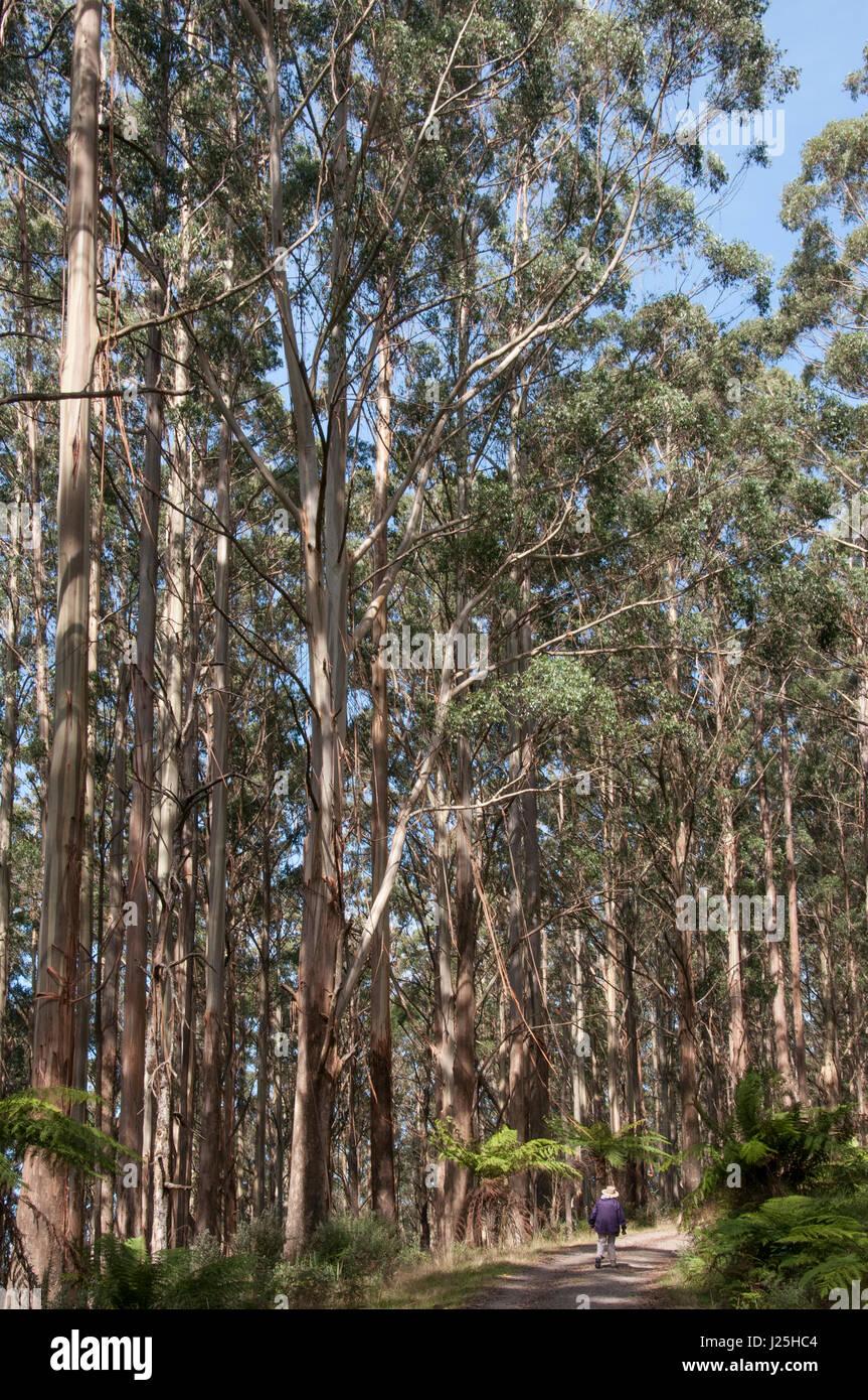 Mountain ash forest at Mt St Leonard, Yarra Ranges National Park, Toolangi, Victoria, Australia - Stock Image