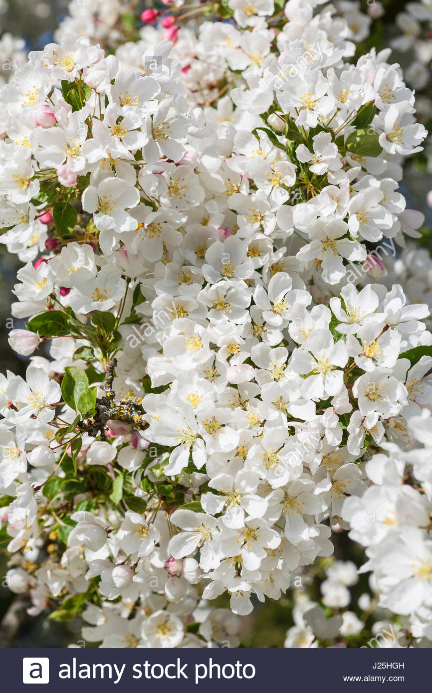 Malus \'Ames White\' - Crab apple tree blossom in spring Stock Photo ...