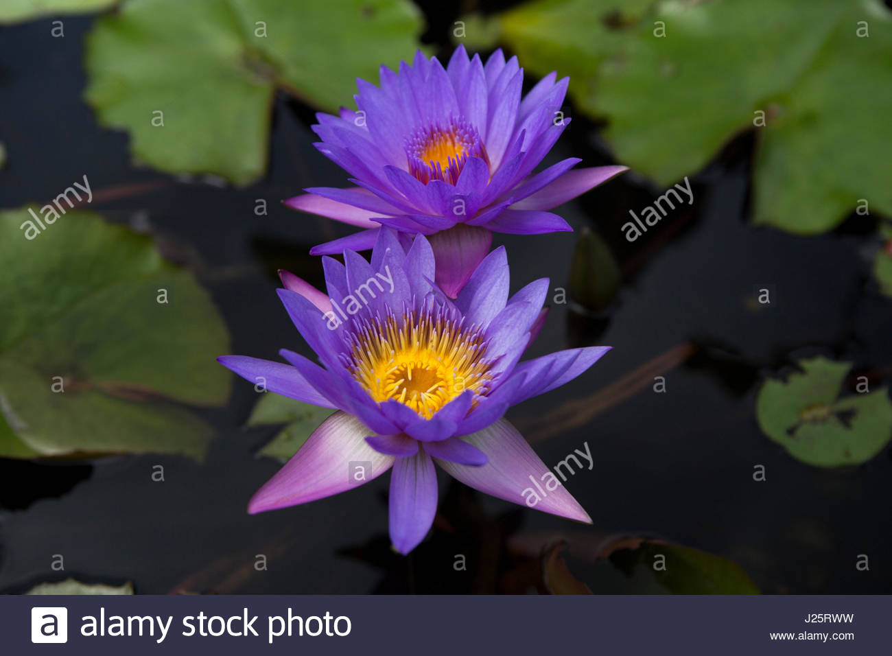 Two purple lotus flowers in a pond stock photo 139040773 alamy two purple lotus flowers in a pond izmirmasajfo