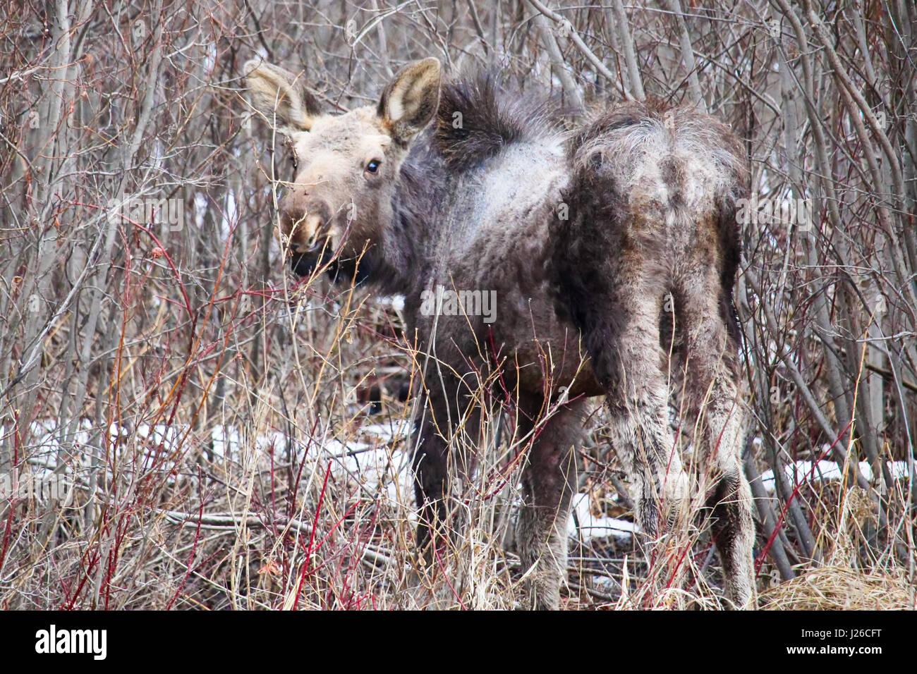 Orphaned moose calf shedding its winter coat. - Stock Image