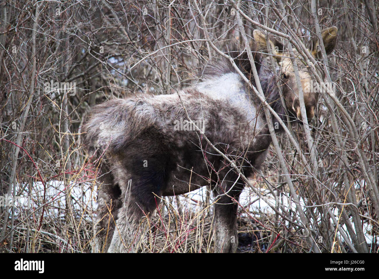 Moose calf with a possible tick infestation. - Stock Image