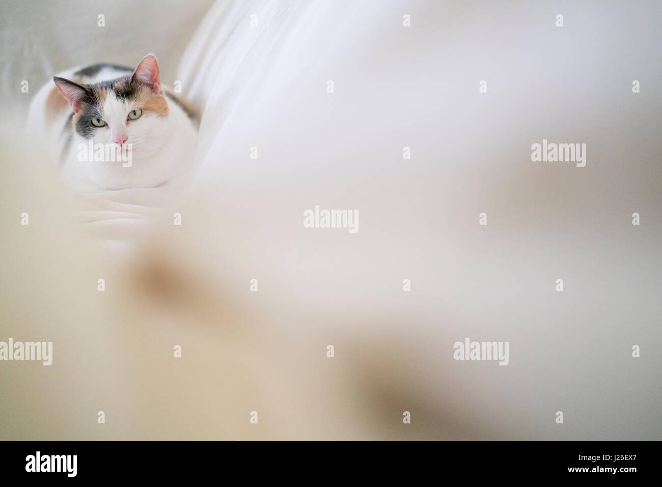 A light calico cat rests on a white sheet in soft light. Stock Photo