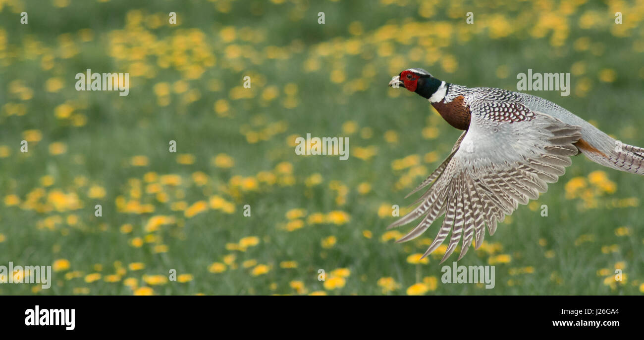A beautiful pheasant bird flying through a dandelion field in England - Stock Image