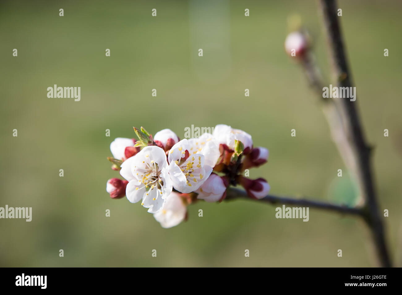 tulip and springtime blossom - Stock Image