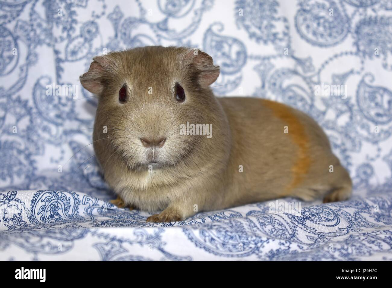 Guinea pigs relaxed on a paisley blue background - Stock Image
