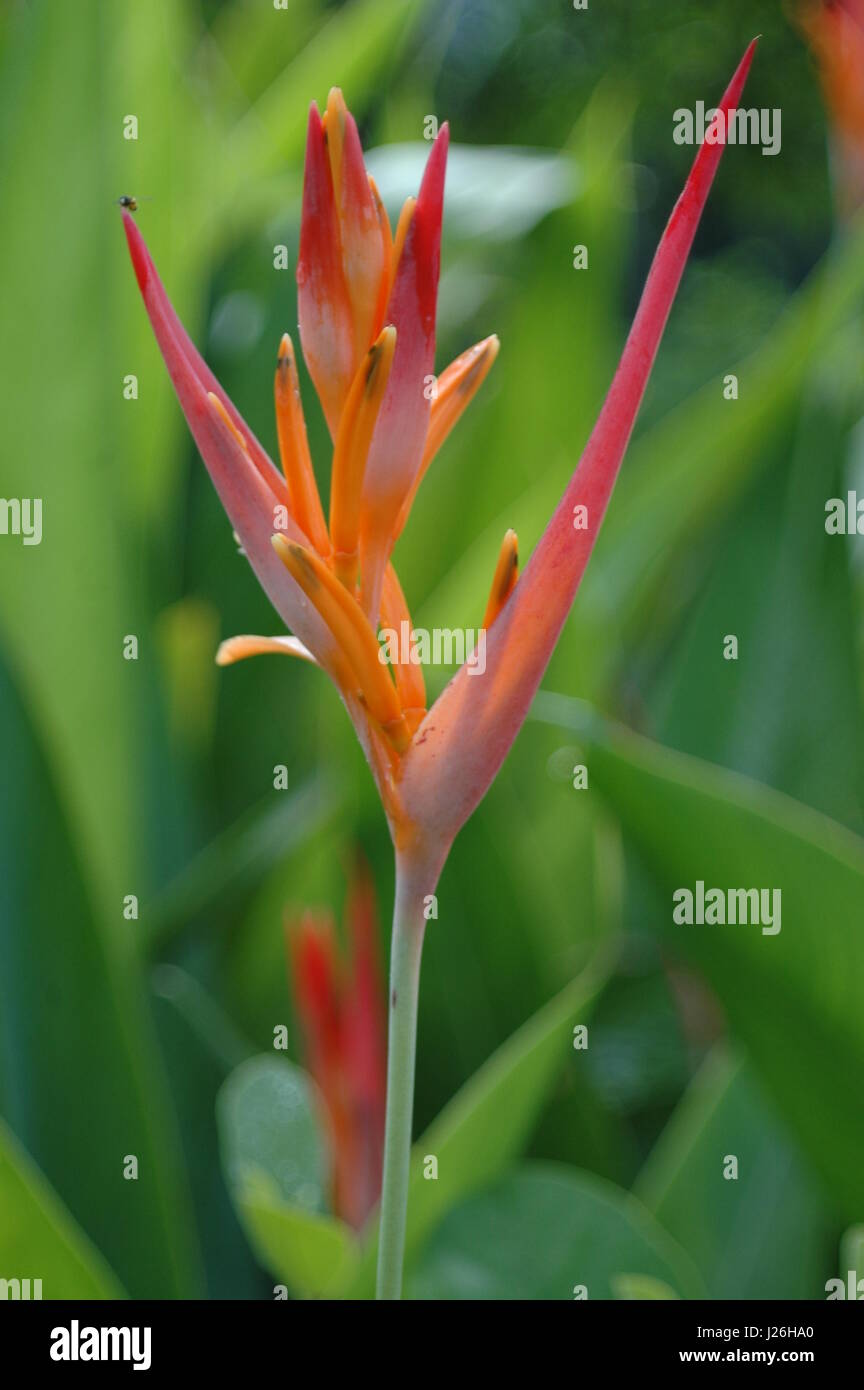 Heliconia bihai Lobster Claw flower - Stock Image