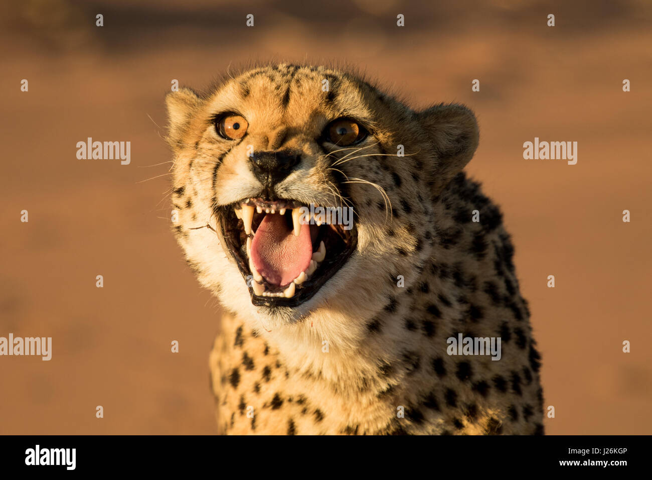 Cheetah growling showing all its teeth, close up photo - Stock Image