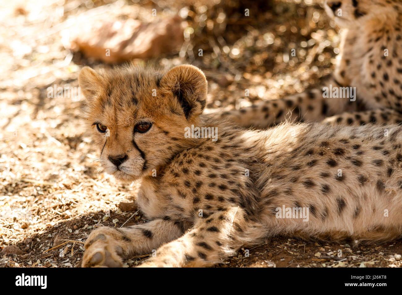 Baby Cheetahs Playing Stock Photos Baby Cheetahs Playing Stock