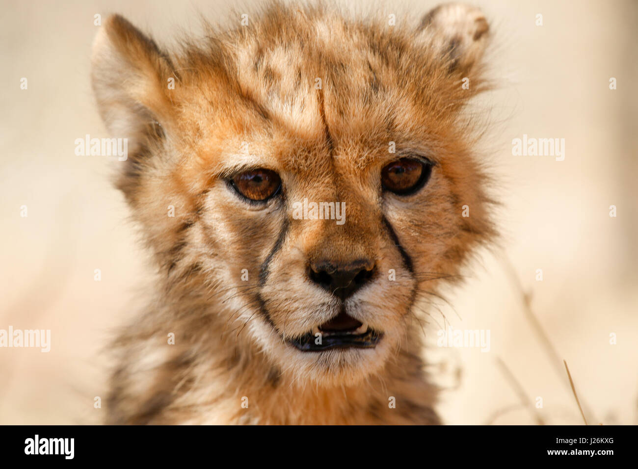 Close up of cube baby cheetah cub in Africa - Stock Image