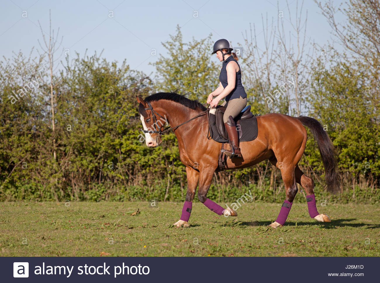 Schooling a horse in grass paddock UK Stock Photo