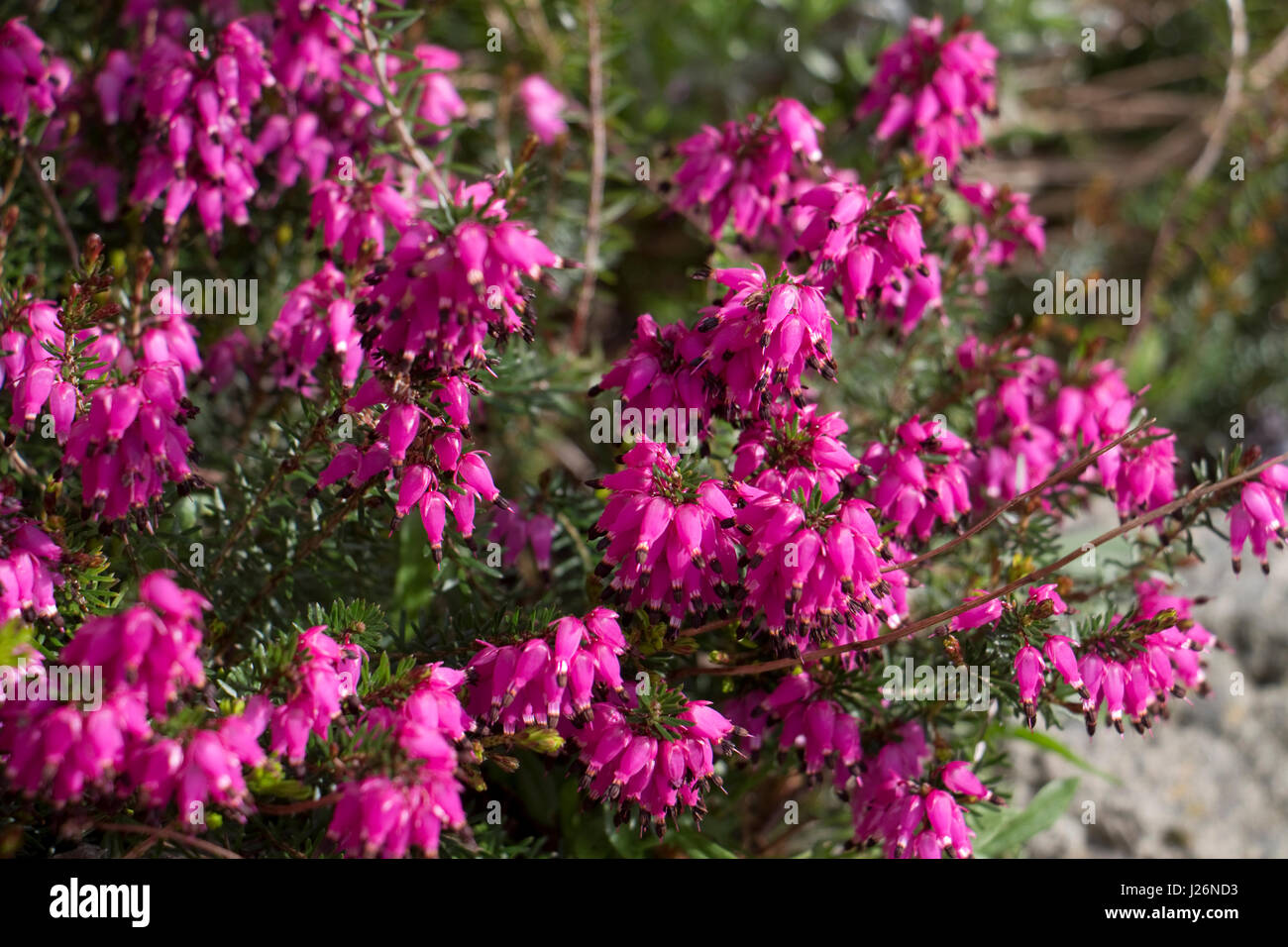 Dark pink heather flower close up stock photos dark pink heather spring flowering pink heather in flower stock image mightylinksfo