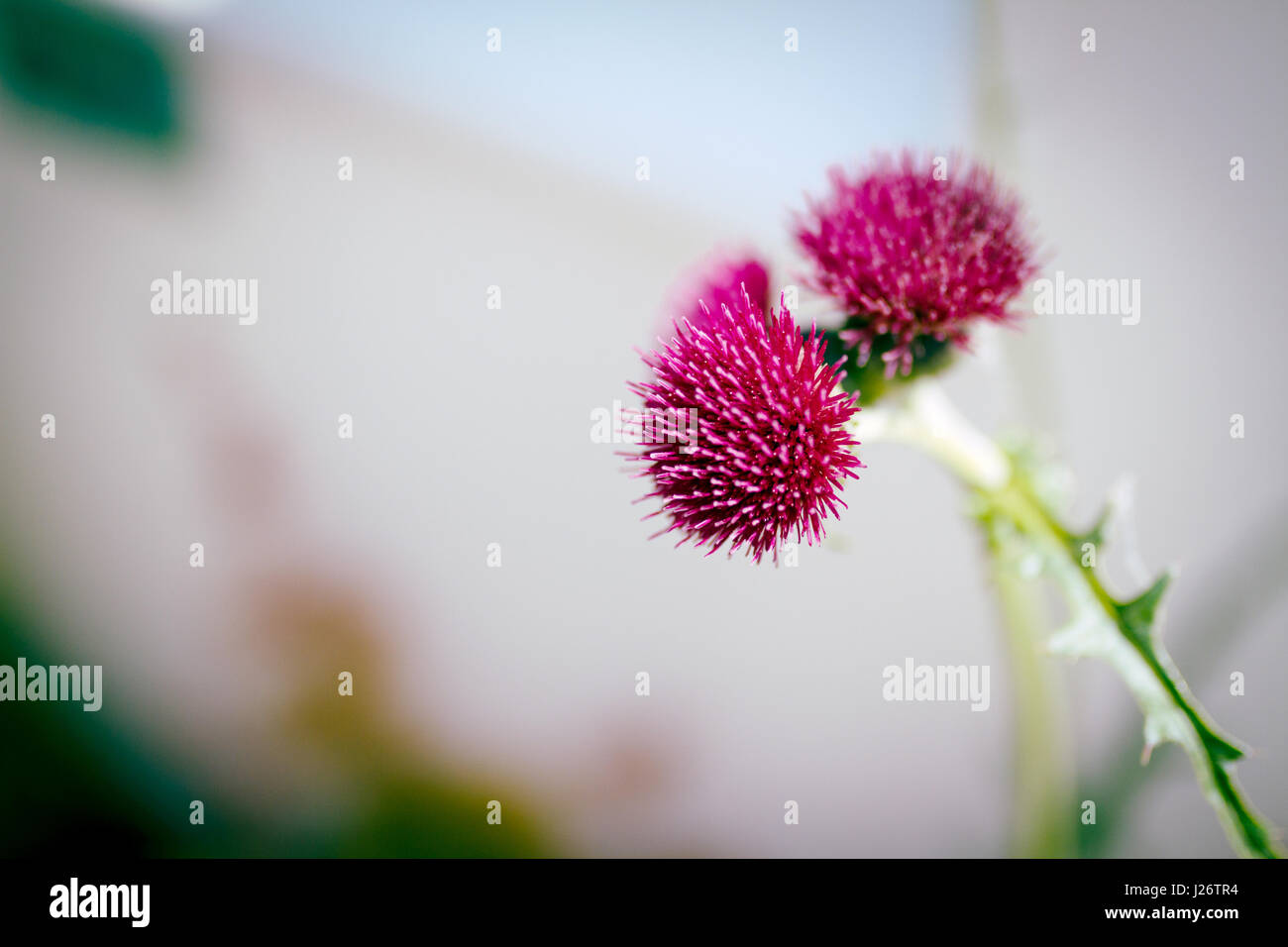 Thistle flowers in late May - Stock Image