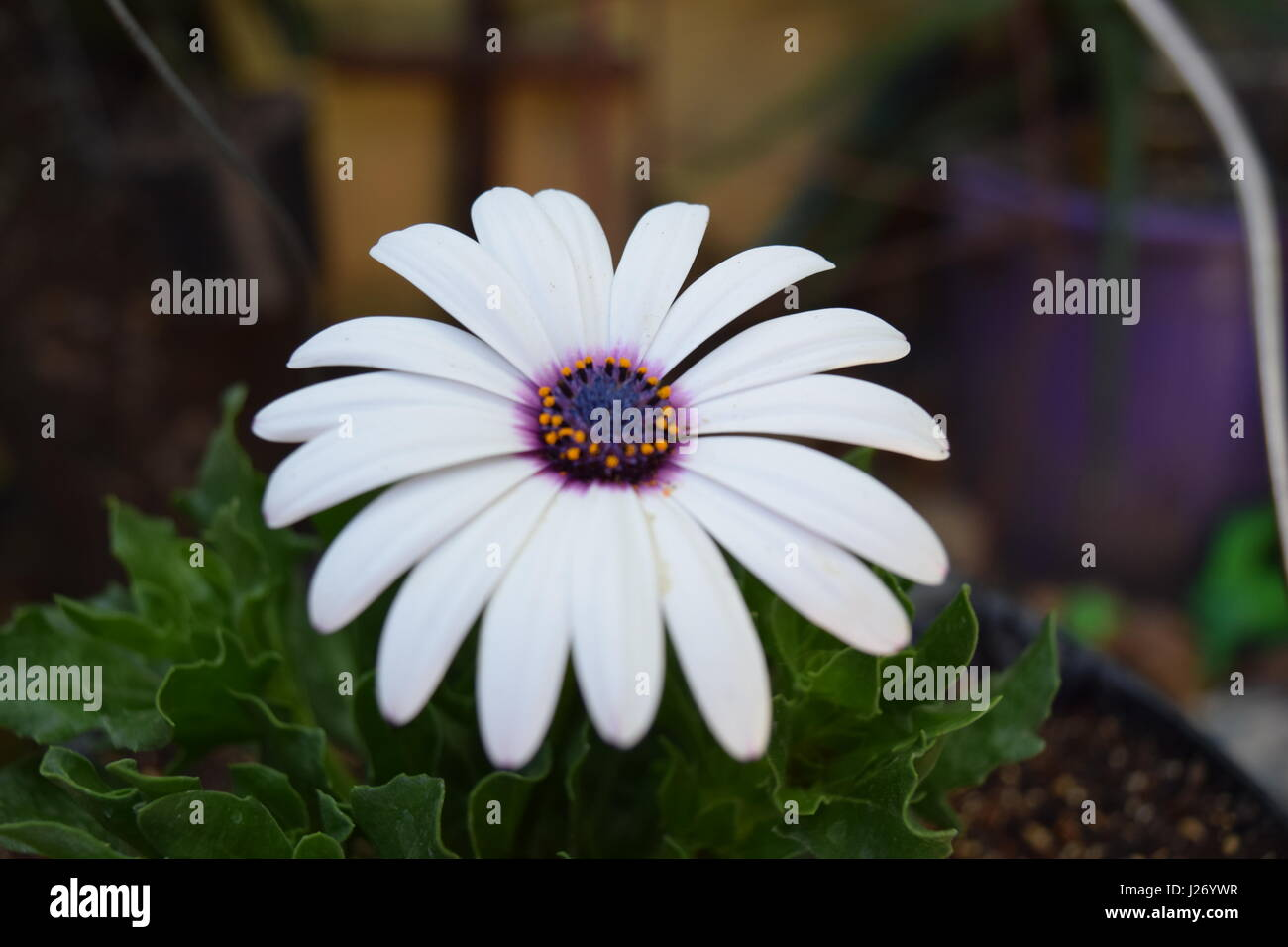 Blooming flower - Stock Image
