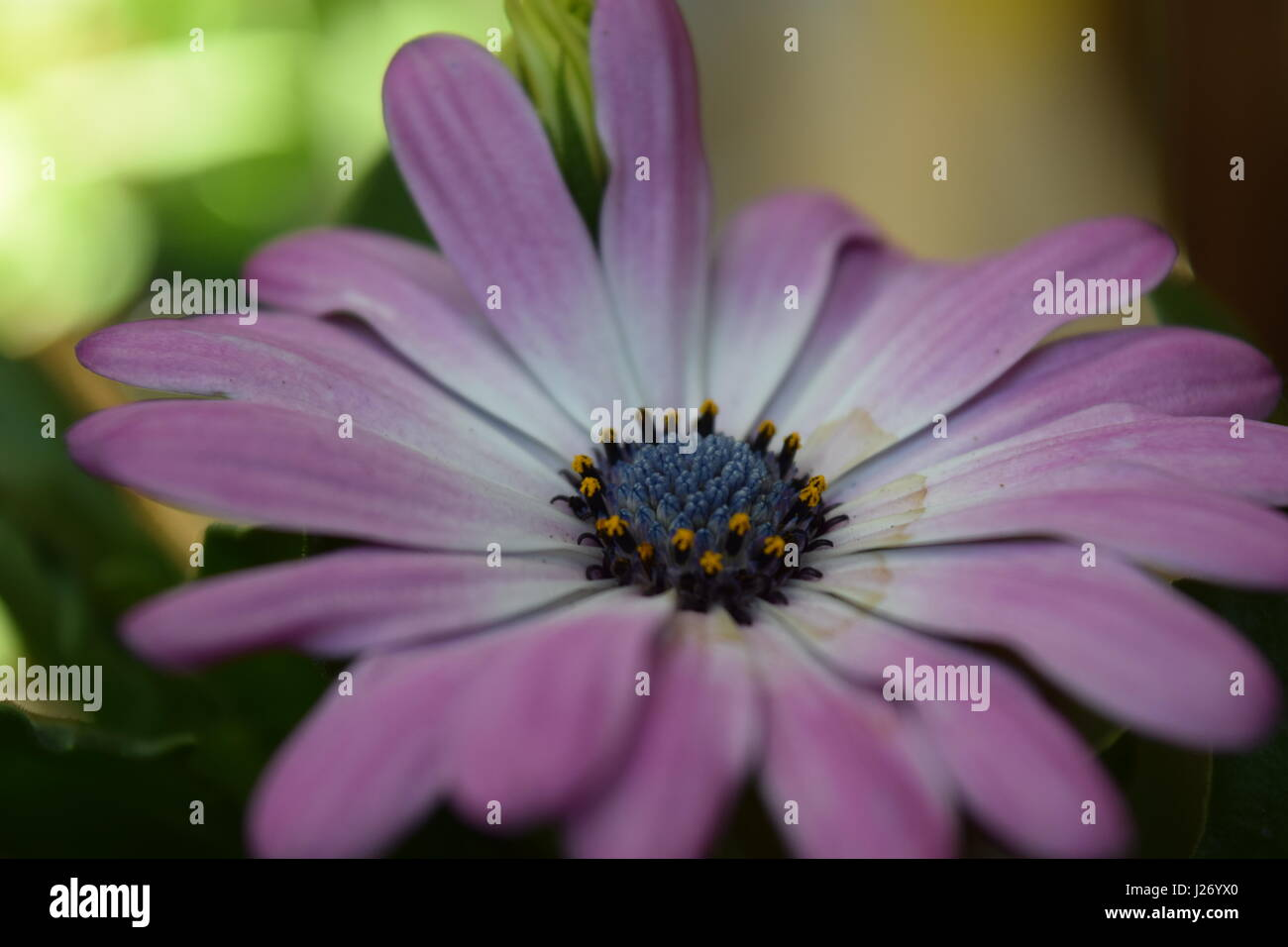Blooming pink flower - Stock Image