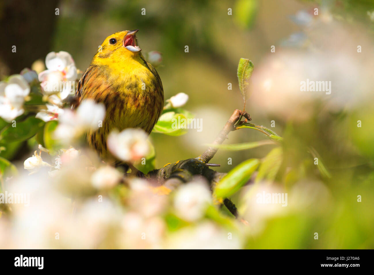 Exceptional Yellowhammer Singing The Song Of Spring Flowers,forest Birds And Wildlife